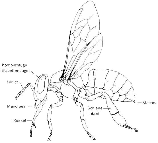 Imkerei Merkens - Bienenkunde - Anatomie der Biene